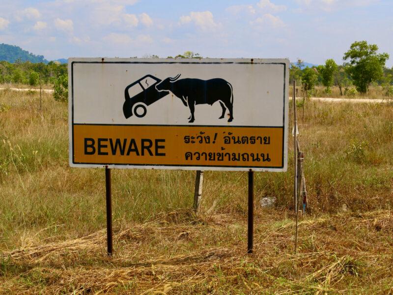 Inte mycke trafik på ön, men se upp för bufflarna