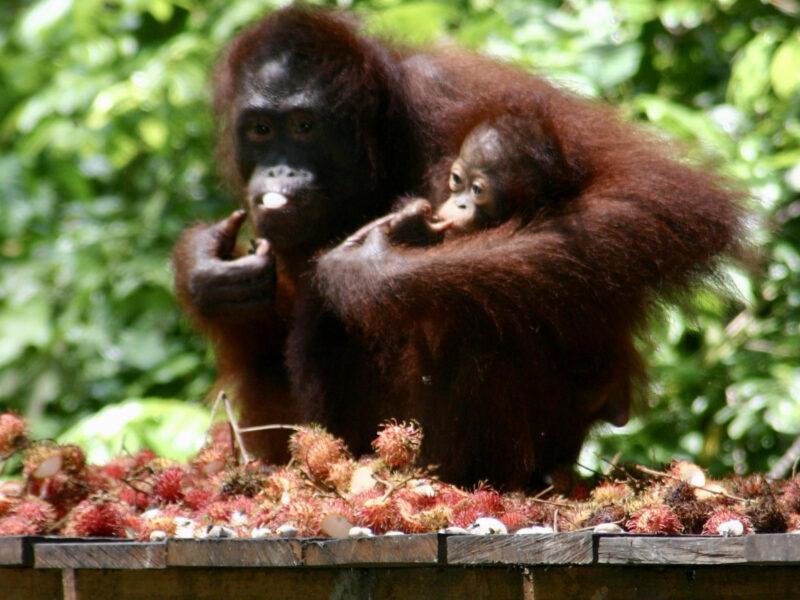 Sepilok en mamma med sin lilla dotter